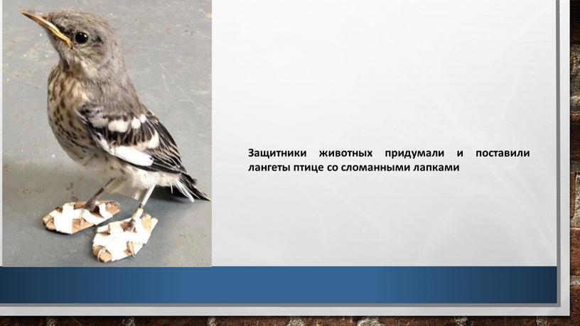 Защитники животных придумали и поставили лангеты птице со сломанными лапками