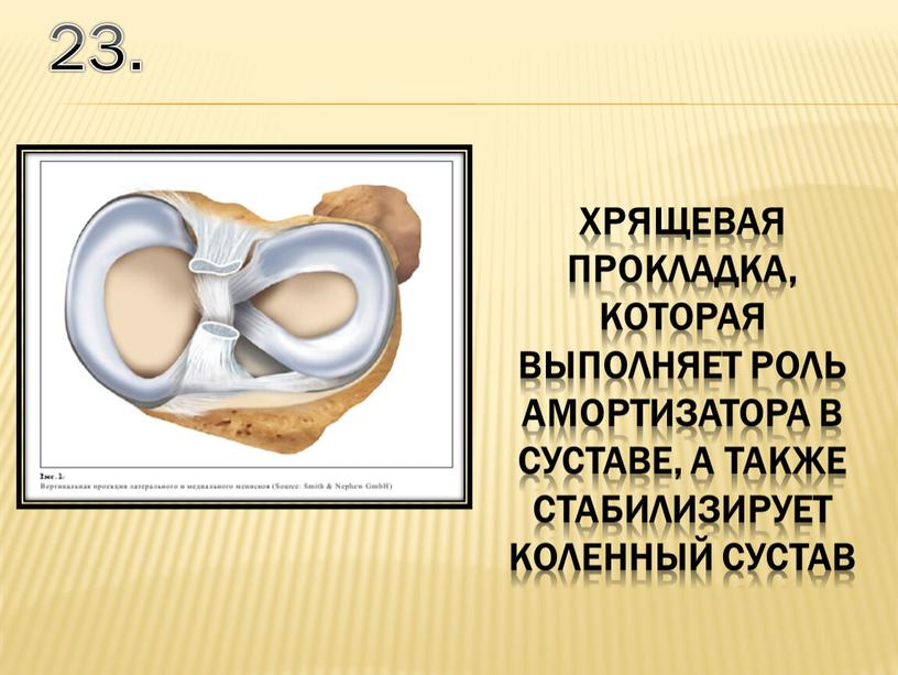 23. хрящевая прокладка, которая выполняет роль амортизатора в суставе, а также стабилизирует коленный сустав