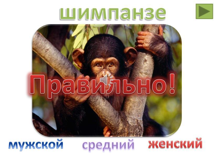 Правильно! шимпанзе мужской средний женский