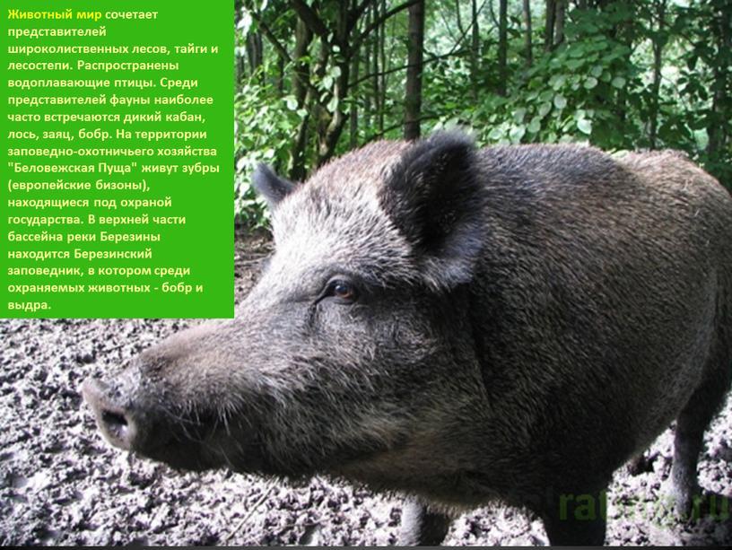 Животный мир сочетает представителей широколиственных лесов, тайги и лесостепи