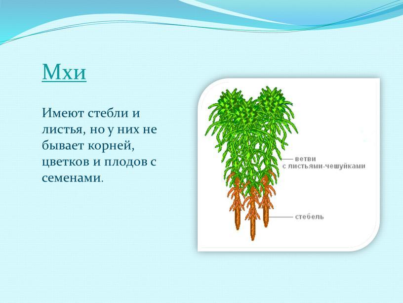 Мхи Имеют стебли и листья, но у них не бывает корней, цветков и плодов с семенами