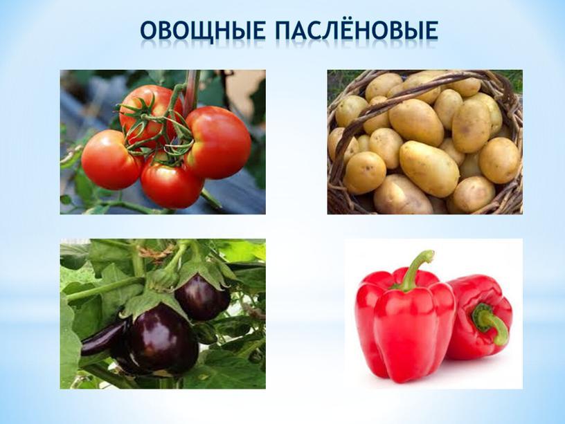 Овощные паслёновые