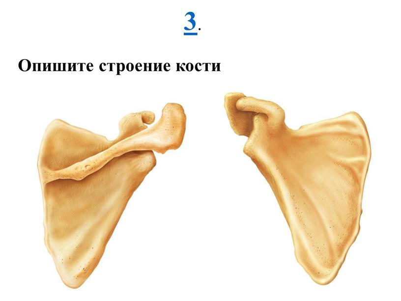 3 . Опишите строение кости