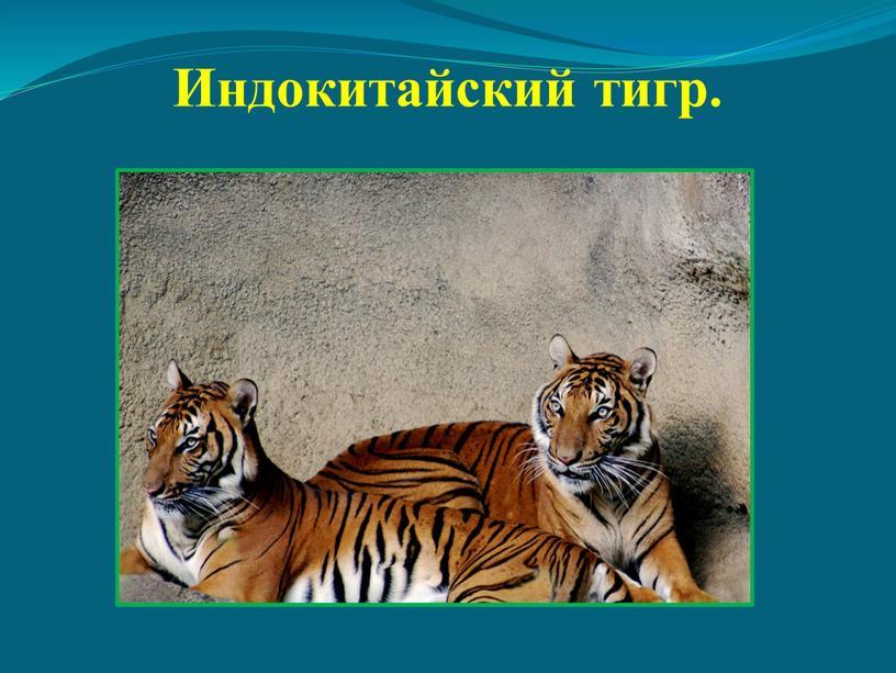 Индокитайский тигр.