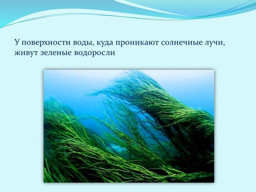 У поверхности воды, куда проникают солнечные лучи, живут зеленые водоросли
