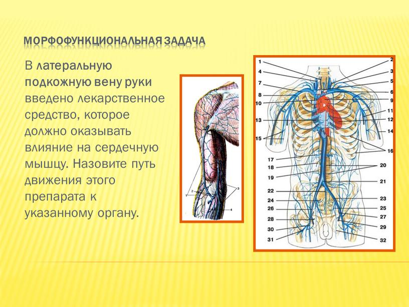 Морфофункциональная задача В латеральную подкожную вену руки введено лекарственное средство, которое должно оказывать влияние на сердечную мышцу