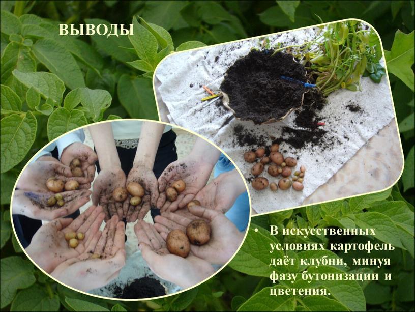 ВЫВОДЫ В искусственных условиях картофель даёт клубни, минуя фазу бутонизации и цветения