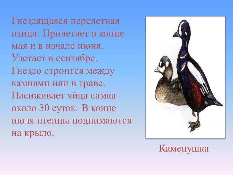 Гнездящаяся перелетная птица. Прилетает в конце мая и в начале июня