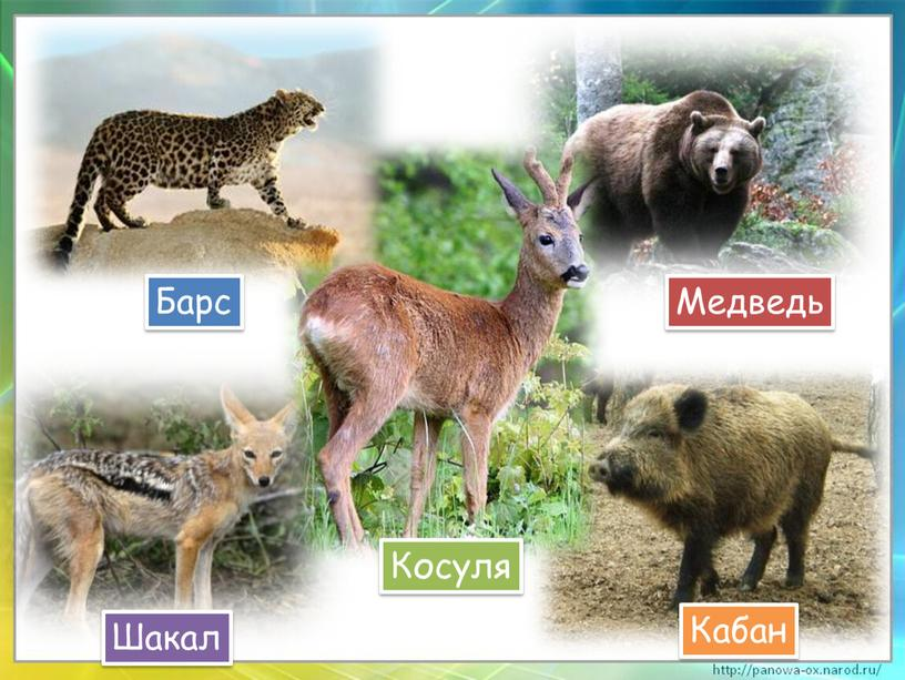 Барс Кабан Шакал Косуля Медведь