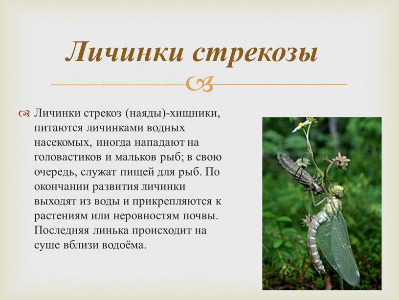 Личинки стрекоз (наяды)-хищники, питаются личинками водных насекомых, иногда нападают на головастиков и мальков рыб; в свою очередь, служат пищей для рыб