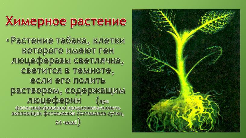 Химерное растение Растение табака, клетки которого имеют ген люцеферазы светлячка, светится в темноте, если его полить раствором, содержащим люцеферин (при фотографировании продолжительность экспозиции фотопленки составляла…