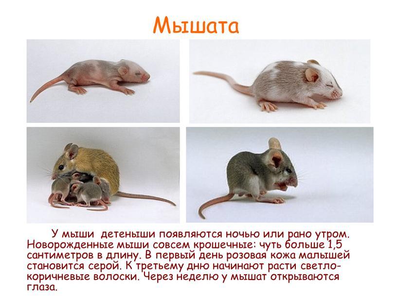 Мышата У мыши детеныши появляются ночью или рано утром