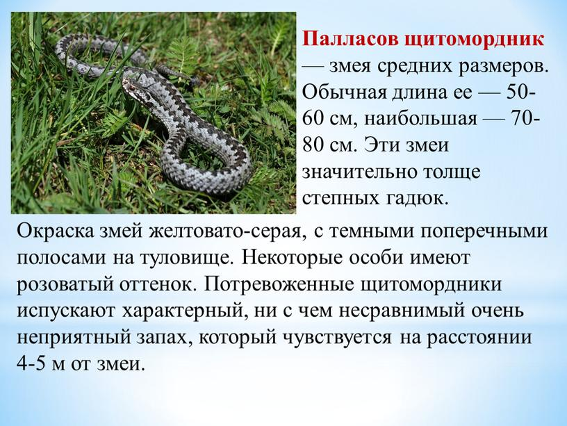 Палласов щитомордник — змея средних размеров