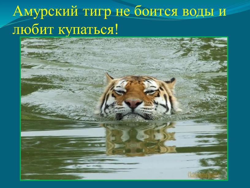 Амурский тигр не боится воды и любит купаться!