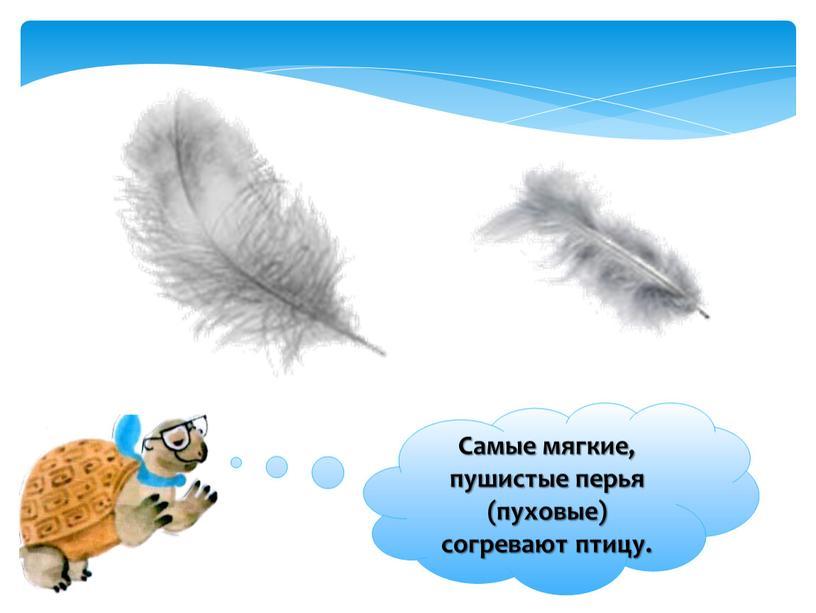 Самые мягкие, пушистые перья (пуховые) согревают птицу