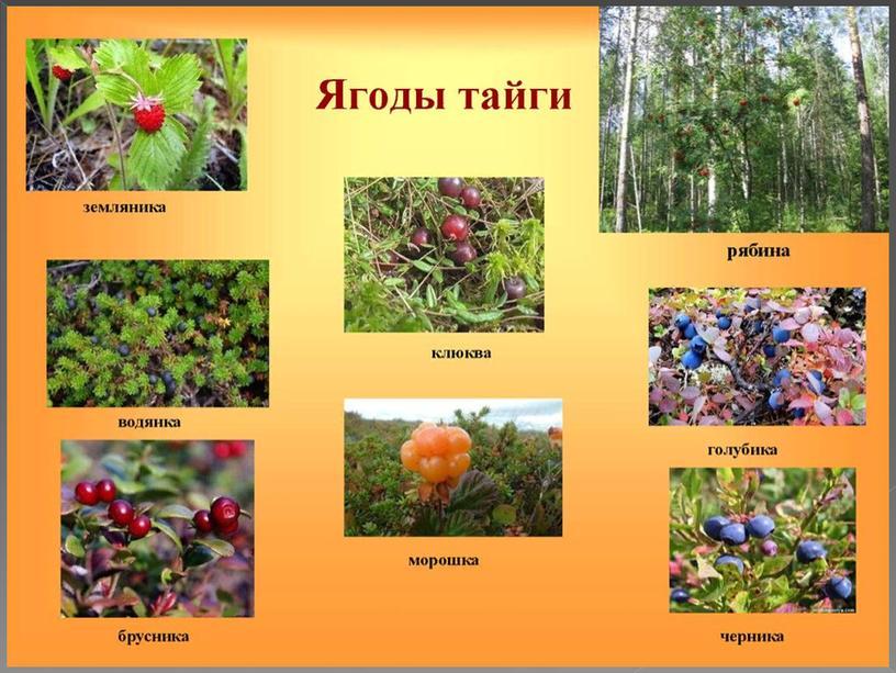 """Презентация к уроку Окружающего мира """"Растения тайги Кемеровсой области"""""""