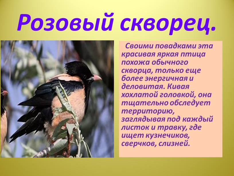 Розовый скворец. Своими повадками эта красивая яркая птица похожа обычного скворца, только еще более энергичная и деловитая