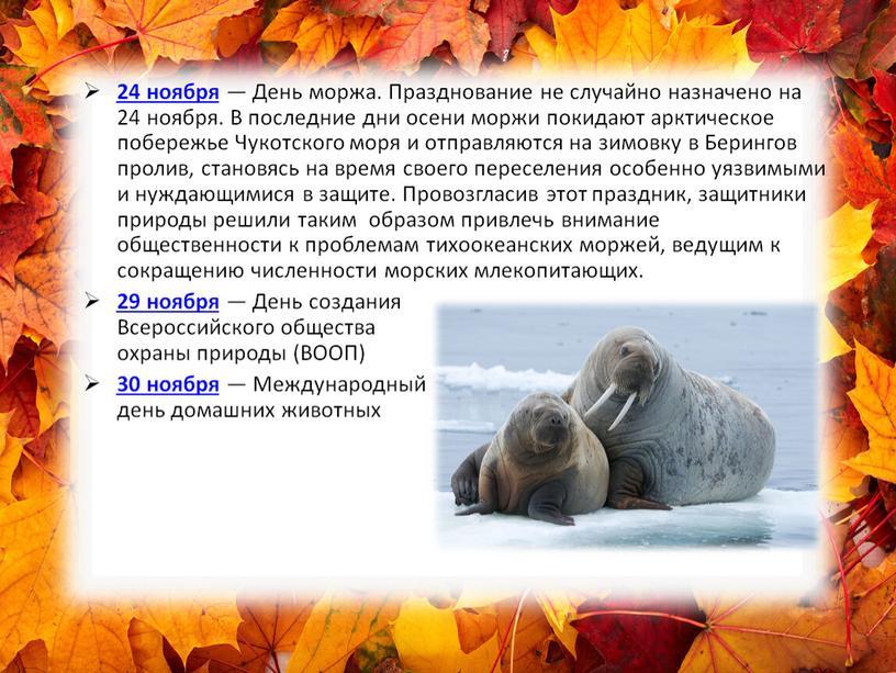 День моржа. Празднование не случайно назначено на 24 ноября