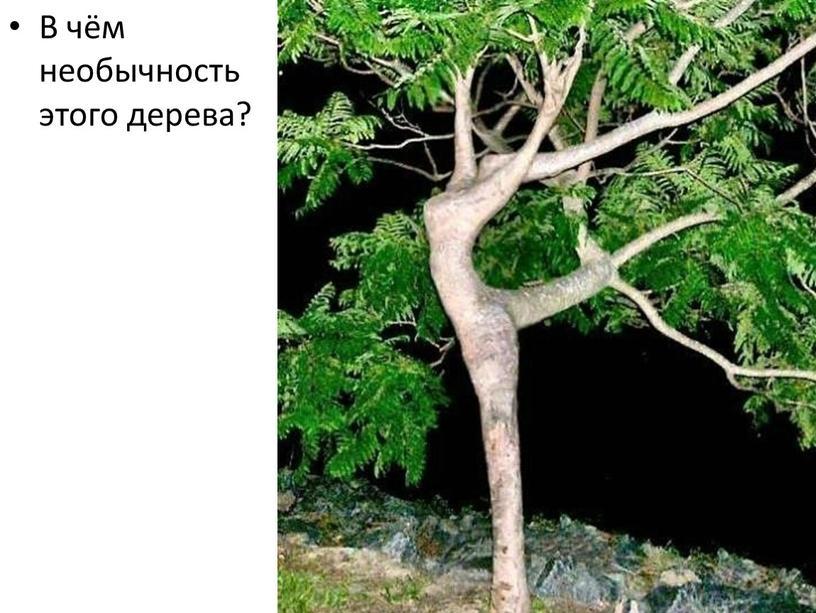 В чём необычность этого дерева?