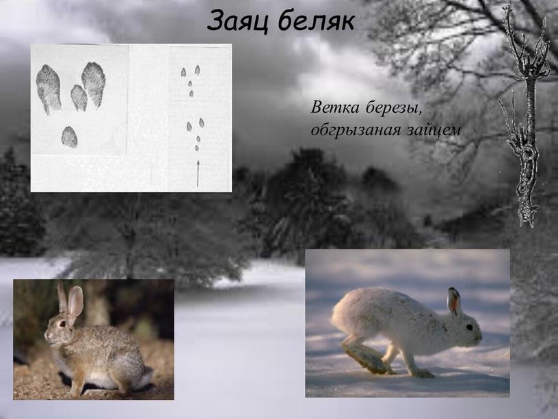 Заяц беляк Ветка березы, обгрызаная зайцем