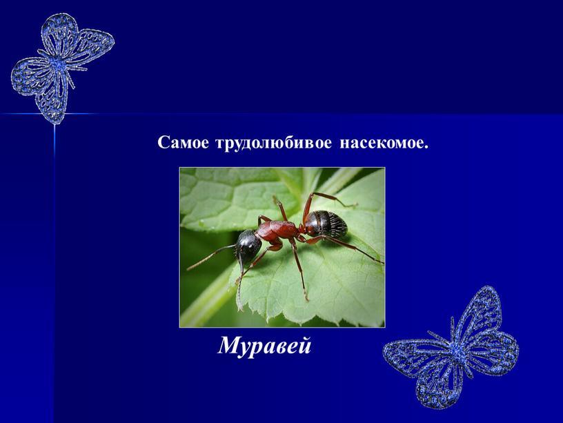 Муравей Самое трудолюбивое насекомое