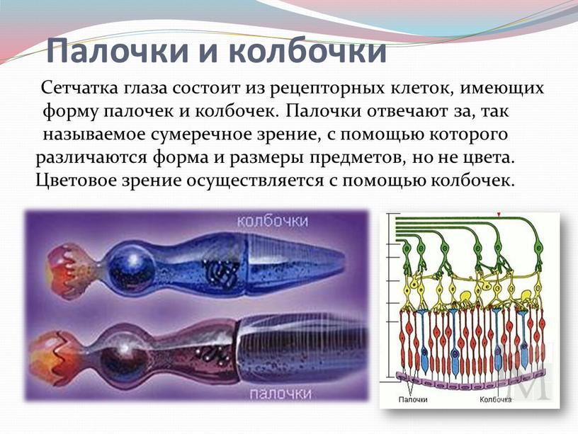 Сетчатка глаза состоит из рецепторных клеток, имеющих форму палочек и колбочек