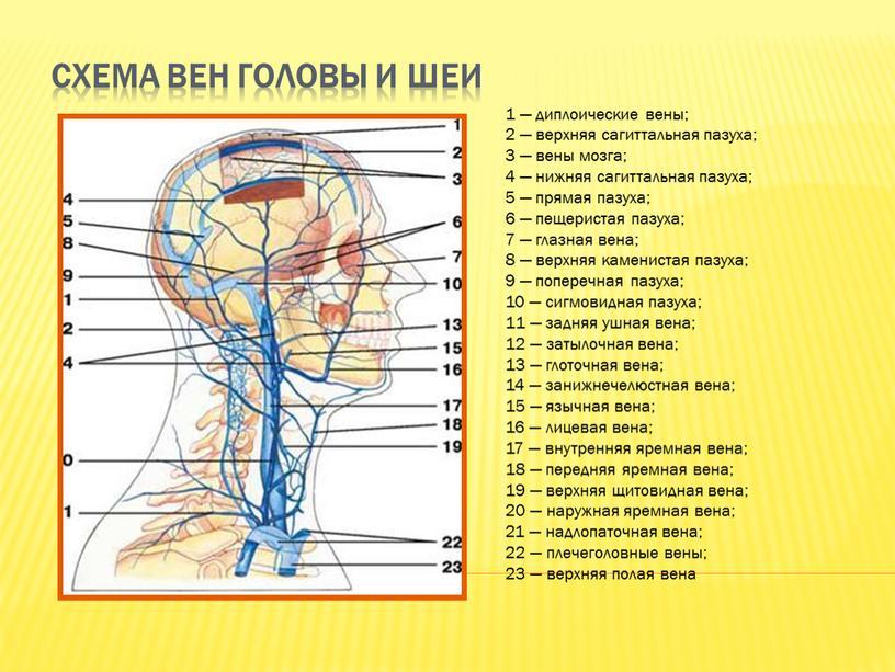 Схема вен головы и шеи 1 — диплоические вены; 2 — верхняя сагиттальная пазуха; 3 — вены мозга; 4 — нижняя сагиттальная пазуха; 5 —…