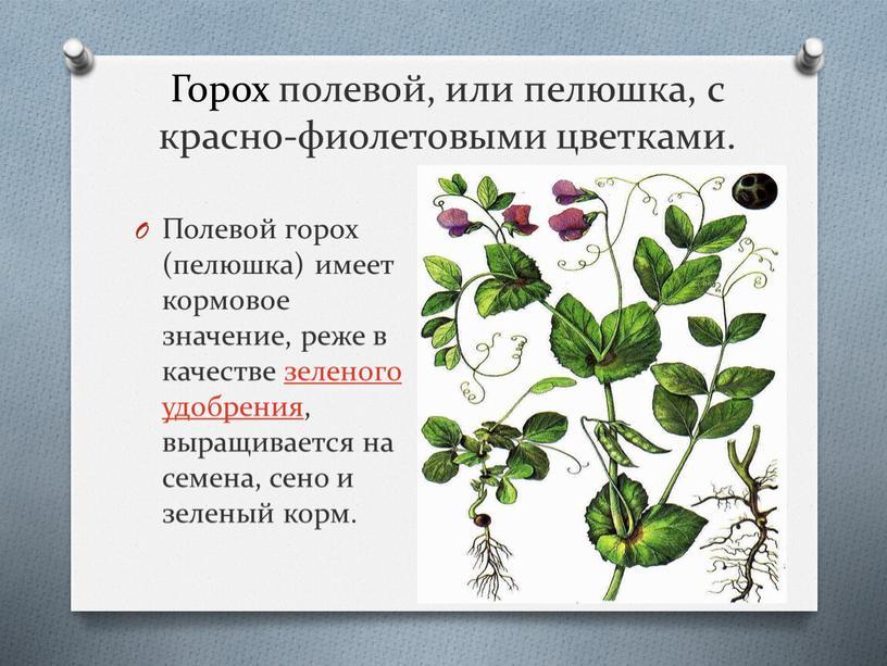 Горох полевой, или пелюшка, с красно-фиолетовыми цветками