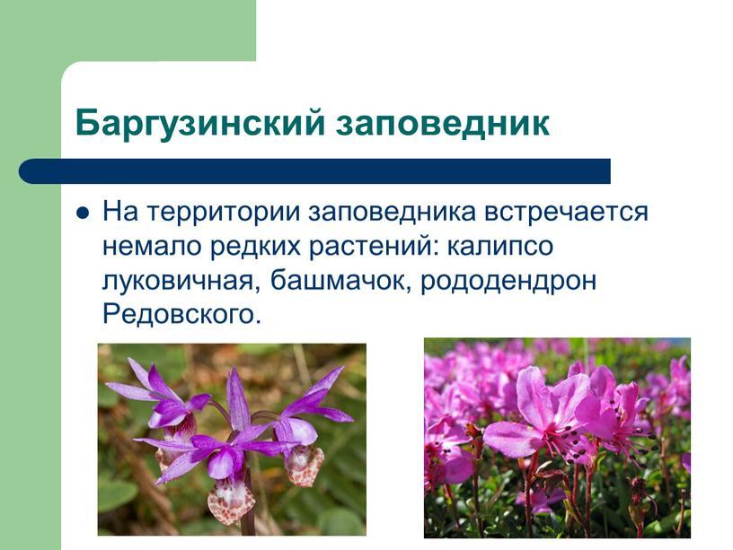 Баргузинский заповедник На территории заповедника встречается немало редких растений: калипсо луковичная, башмачок, рододендрон
