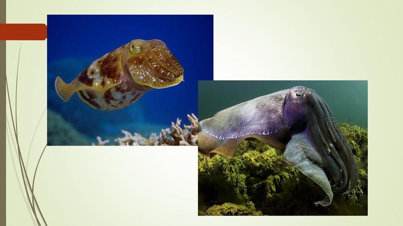 Презентация к уроку по теме: Моллюски