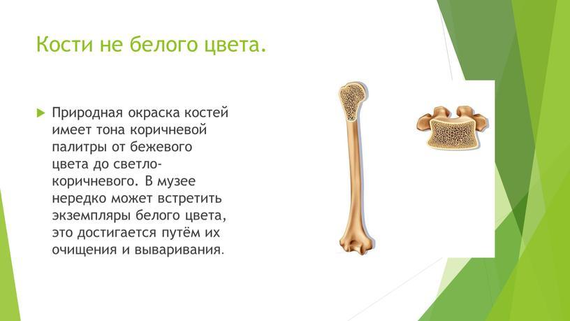 Кости не белого цвета. Природная окраска костей имеет тона коричневой палитры от бежевого цвета до светло-коричневого