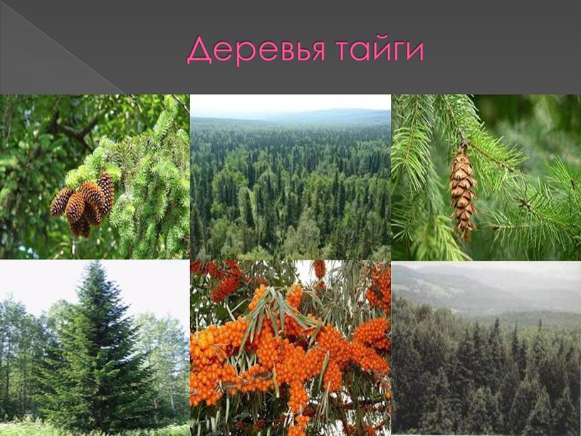 Деревья тайги