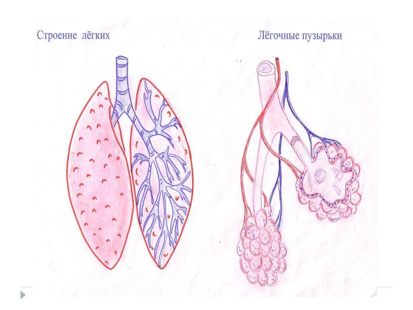 """Технологическая карта урока на тему """"Дыхание многоклеточных животных. Строение дыхательной системы позвоночных животных"""" (6 класс, биология)"""