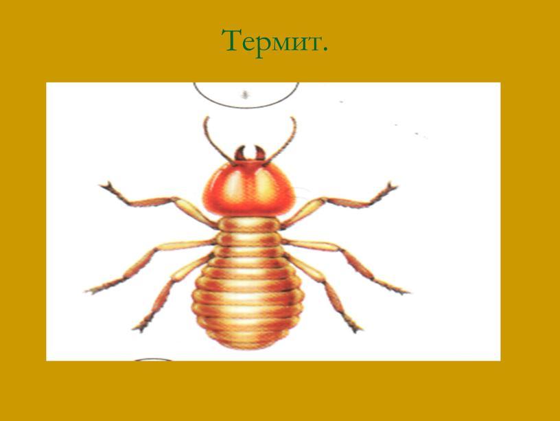 Термит.