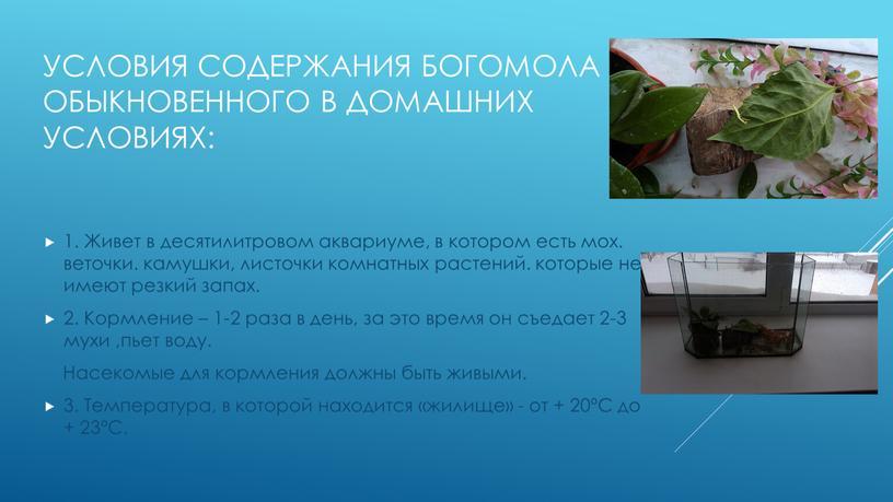Условия содержания богомола обыкновенного в домашних условиях: 1