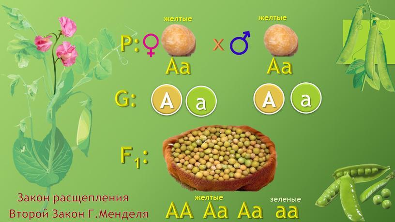 P: F1: G: a Aа Аa Aa A A a желтые зеленые желтые
