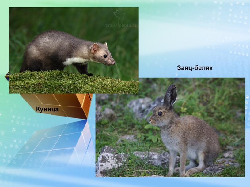Заяц-беляк Куница
