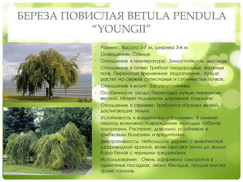 """Береза повислая Betula pendula """"Youngii"""""""