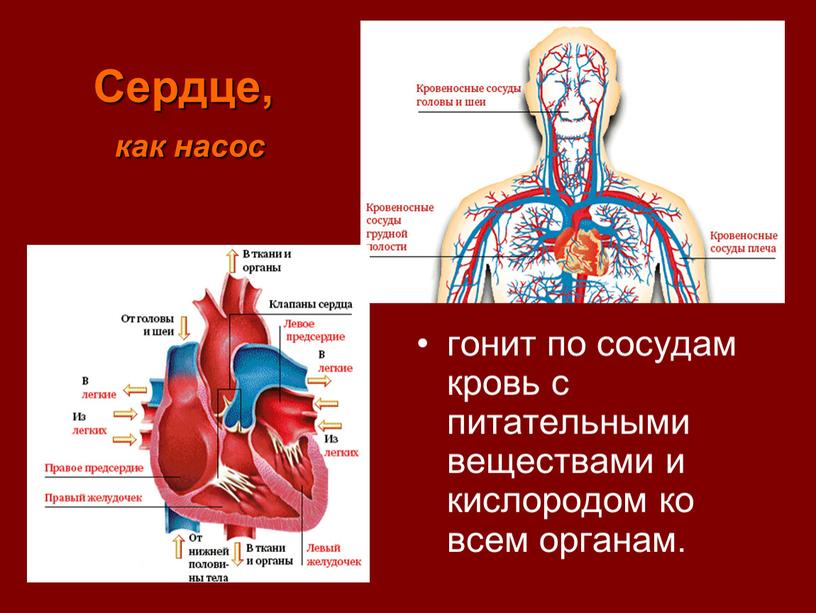Сердце, как насос гонит по сосудам кровь с питательными веществами и кислородом ко всем органам