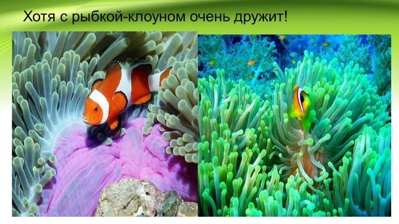 Хотя с рыбкой-клоуном очень дружит!