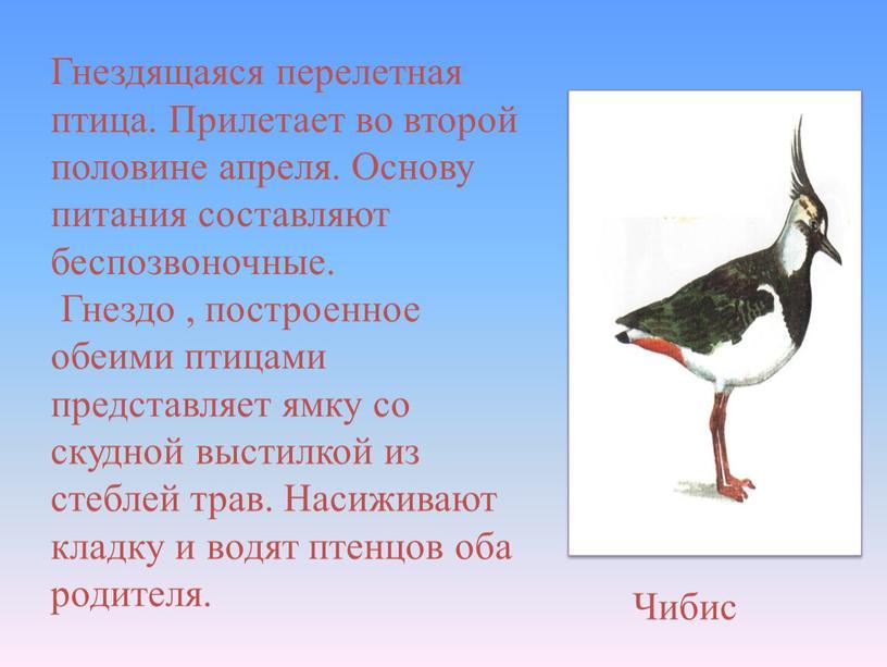 Чибис Гнездящаяся перелетная птица
