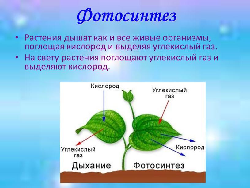 Фотосинтез Растения дышат как и все живые организмы, поглощая кислород и выделяя углекислый газ