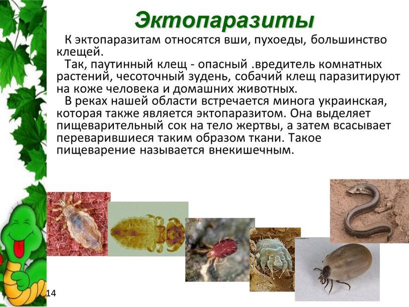 Эктопаразиты К эктопаразитам относятся вши, пухоеды, большинство клещей
