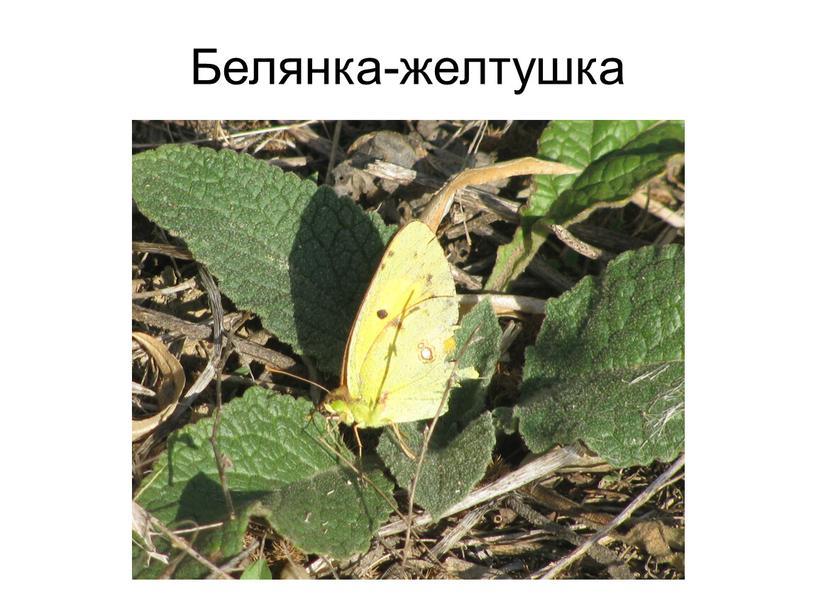 Белянка-желтушка