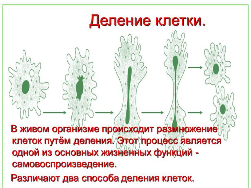 Деление клетки. В живом организме происходит размножение клеток путём деления