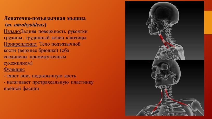Лопаточно-подъязычная мышца ( m