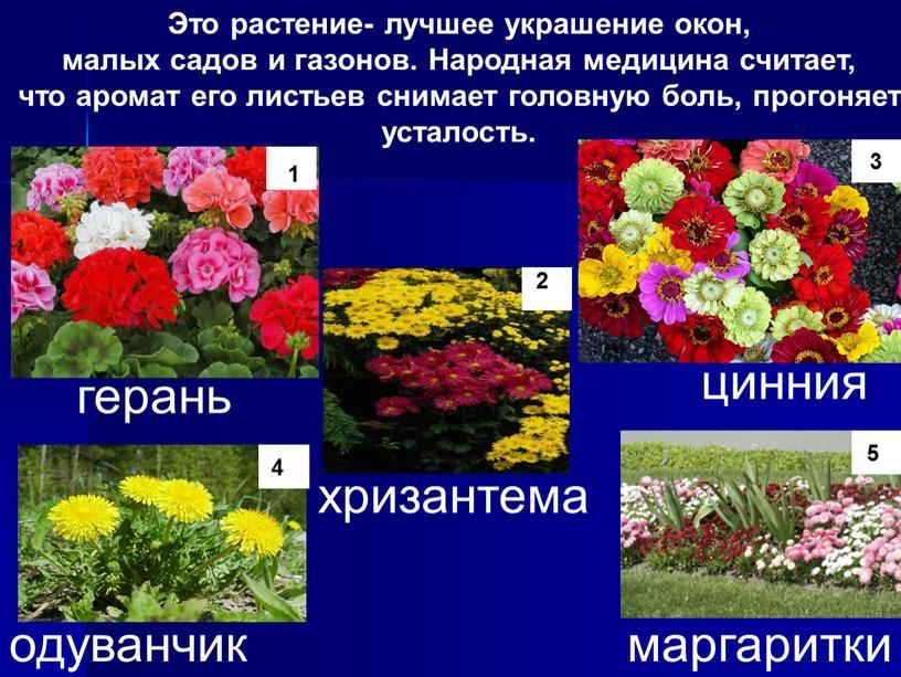 Это растение- лучшее украшение окон, малых садов и газонов