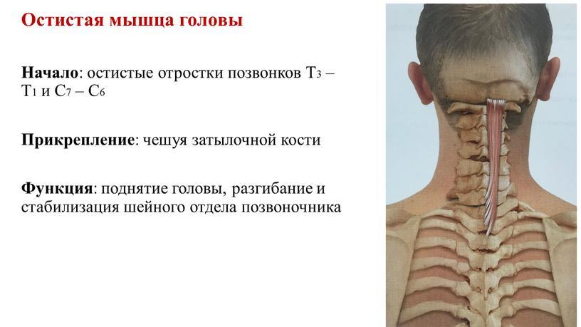 Остистая мышца головы Начало : остистые отростки позвонков