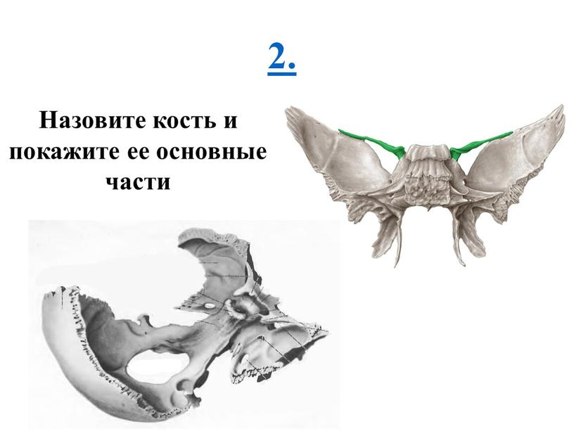 Назовите кость и покажите ее основные части