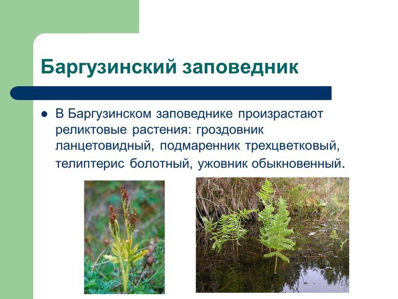 Баргузинский заповедник В Баргузинском заповеднике произрастают реликтовые растения: гроздовник ланцетовидный, подмаренник трехцветковый, телиптерис болотный, ужовник обыкновенный